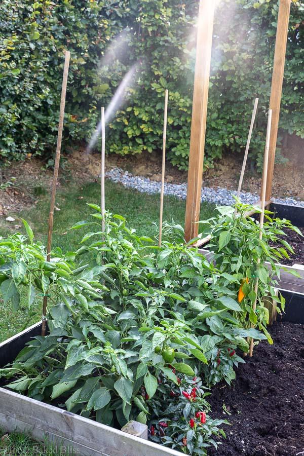 Bell pepper plants in vegetable bed