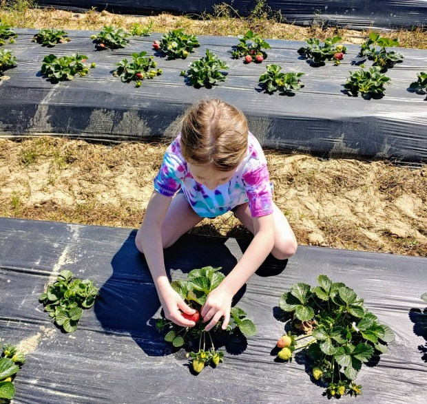 Picture of girl picking strawberries at u-pick strawberry farm