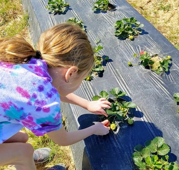 little girl picks strawberries at a u pick farm