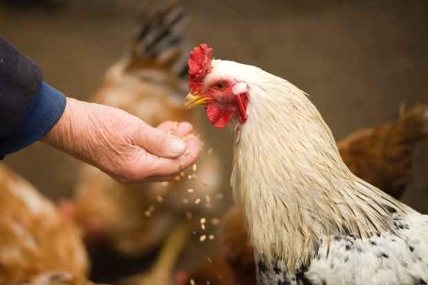 animal chicken cockerel countryside