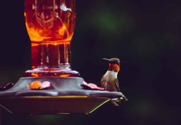 HomeDabbler hummingbird at nectar feeder