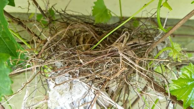 HomeDabbler bird nest in a muscadine vine