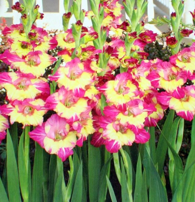 12 Gladiolus Dynamite Ii Flower Bulbs Packed 12 Flower