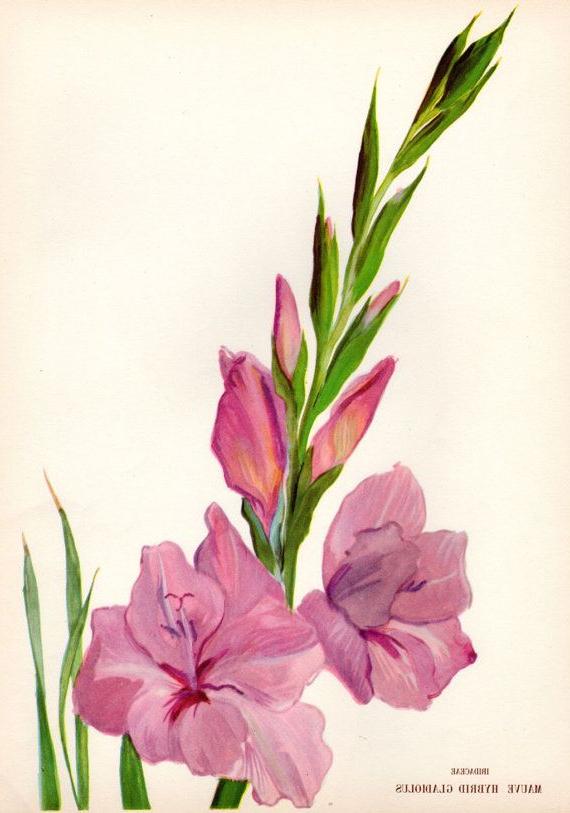 1946 Vintage Botanical Print Gladiolus Mauve