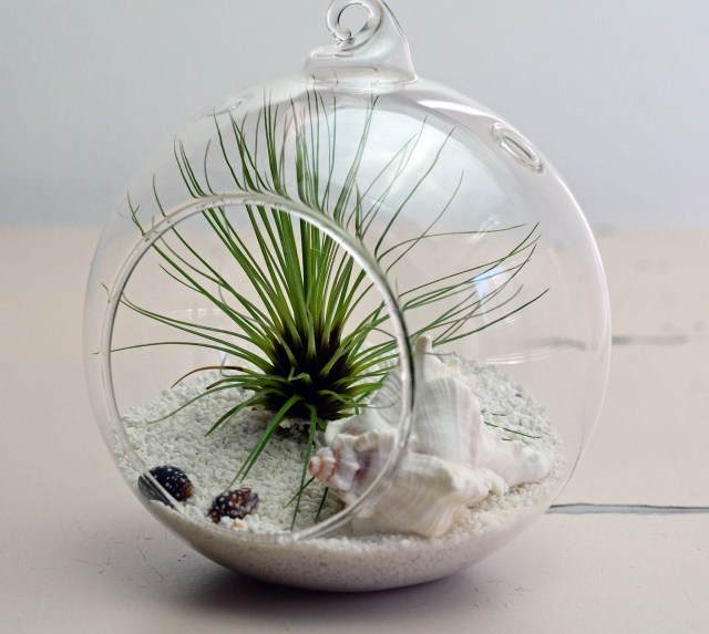 Air Plants Are Amazing Plants They Dont Need Soil To