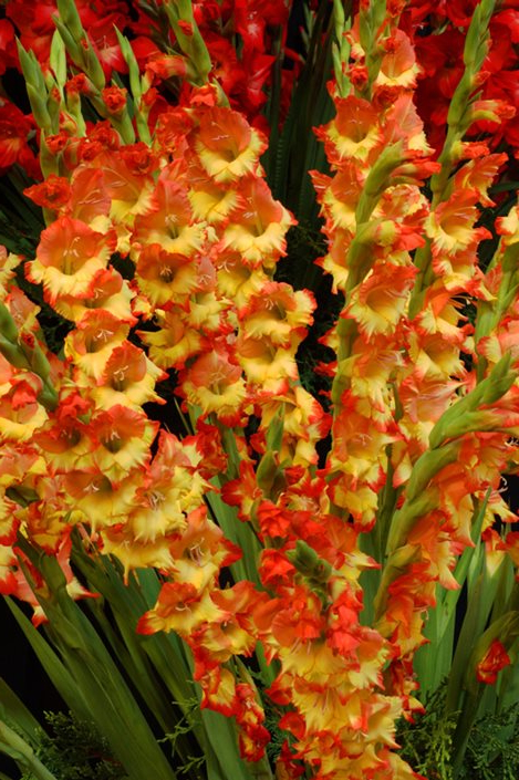 Gladiolus Flowers Planting Growing Caring For Glads