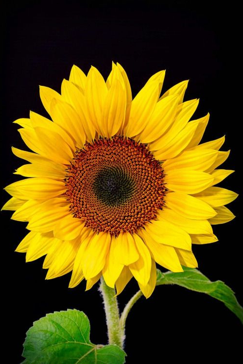 Gorgeous Flowers And Greenery Sunflower Pictures