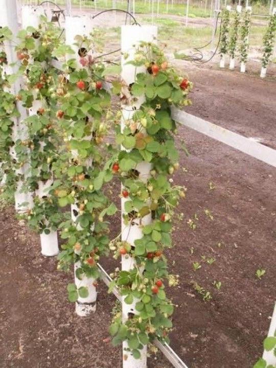 Grow Your Own Strawberries Plants Garden Edible Garden