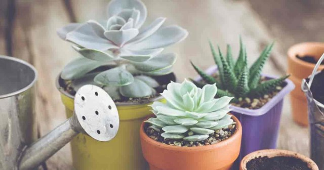 How Often To Water Succulents Plant Care Today