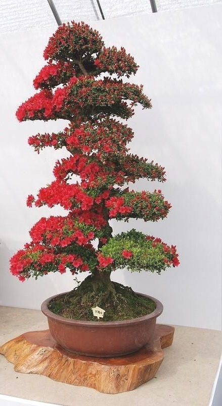 I Love This Beautiful Bonsai Tree Bonsaiinspiration