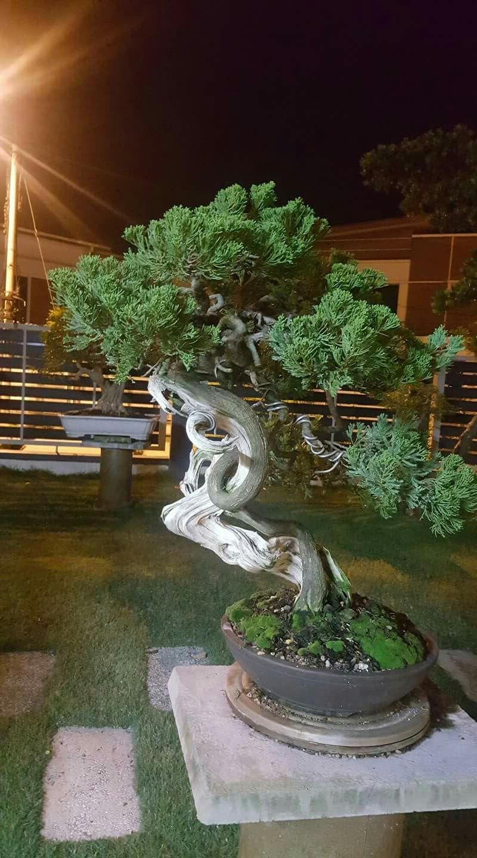 Literati Bonsai Style Bonsai Garden Bonsai Tree Bonsai