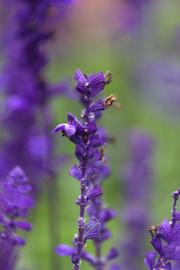 5 Heat Resistant Plants That Repel Mosquitoes