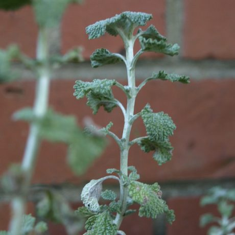 Horehound is used to ease the pain of sore  throats.