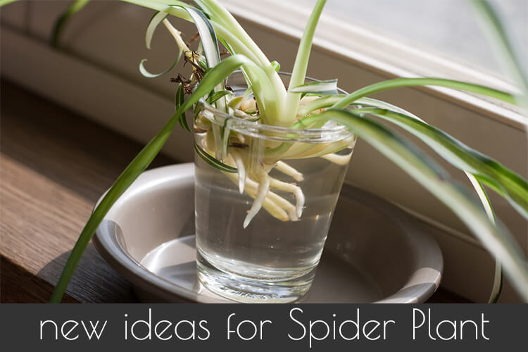Spider Plant How to Grow and Care for Spider plants