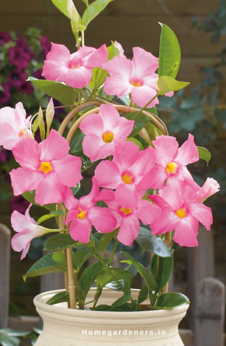 Rocktrumpet Care How To Grow And Care For Mandevilla