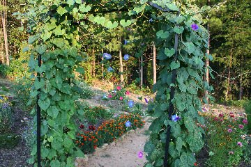 trellis covered with morning glories