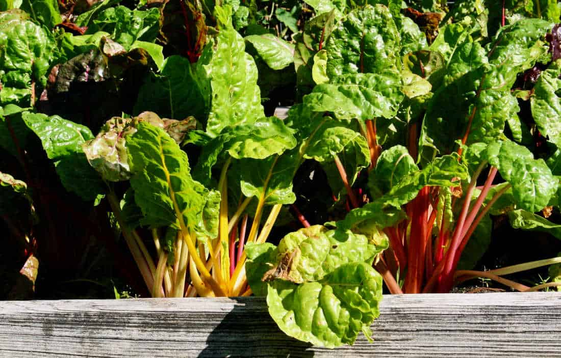 picture of chard in a raised bed