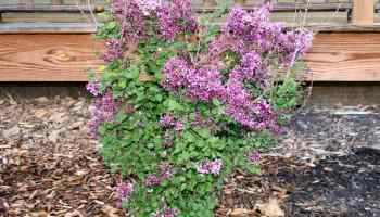 Update on anns bloomerang lilac home garden joy bloomerang lilac and old fashioned lilacs mightylinksfo Images