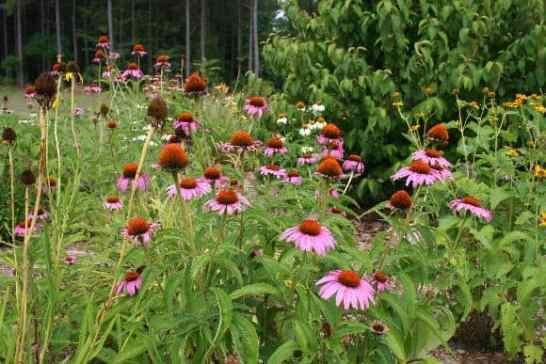 Coneflowers once grew in prairie meadows.