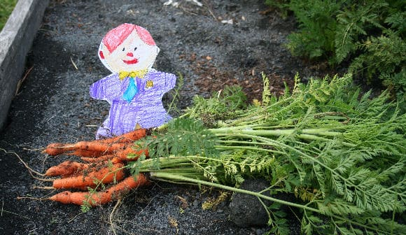 Harvesting the Carrots