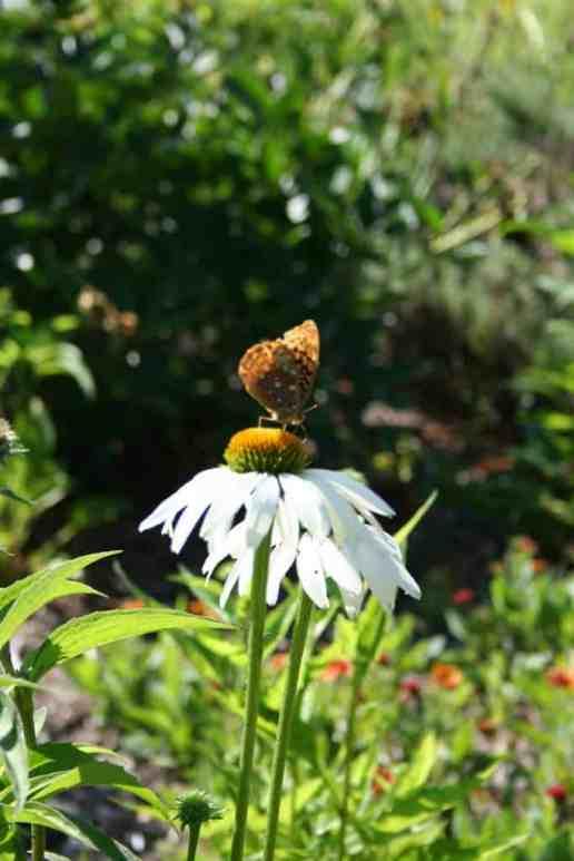 Butterflies love coneflower.