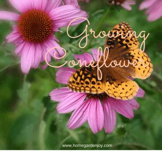 Growing coneflowers is easy....