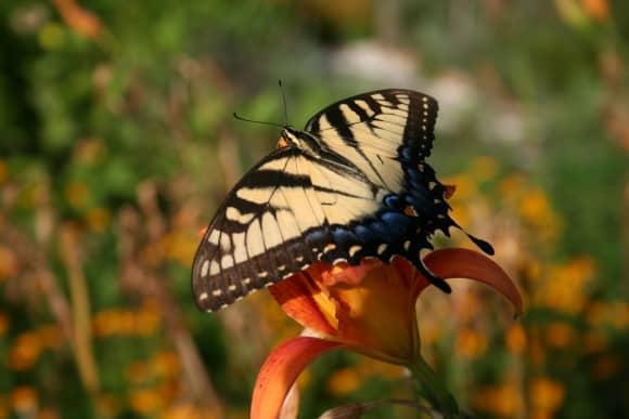 butterfly-on-daylily