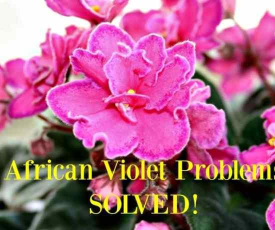 African violet problems