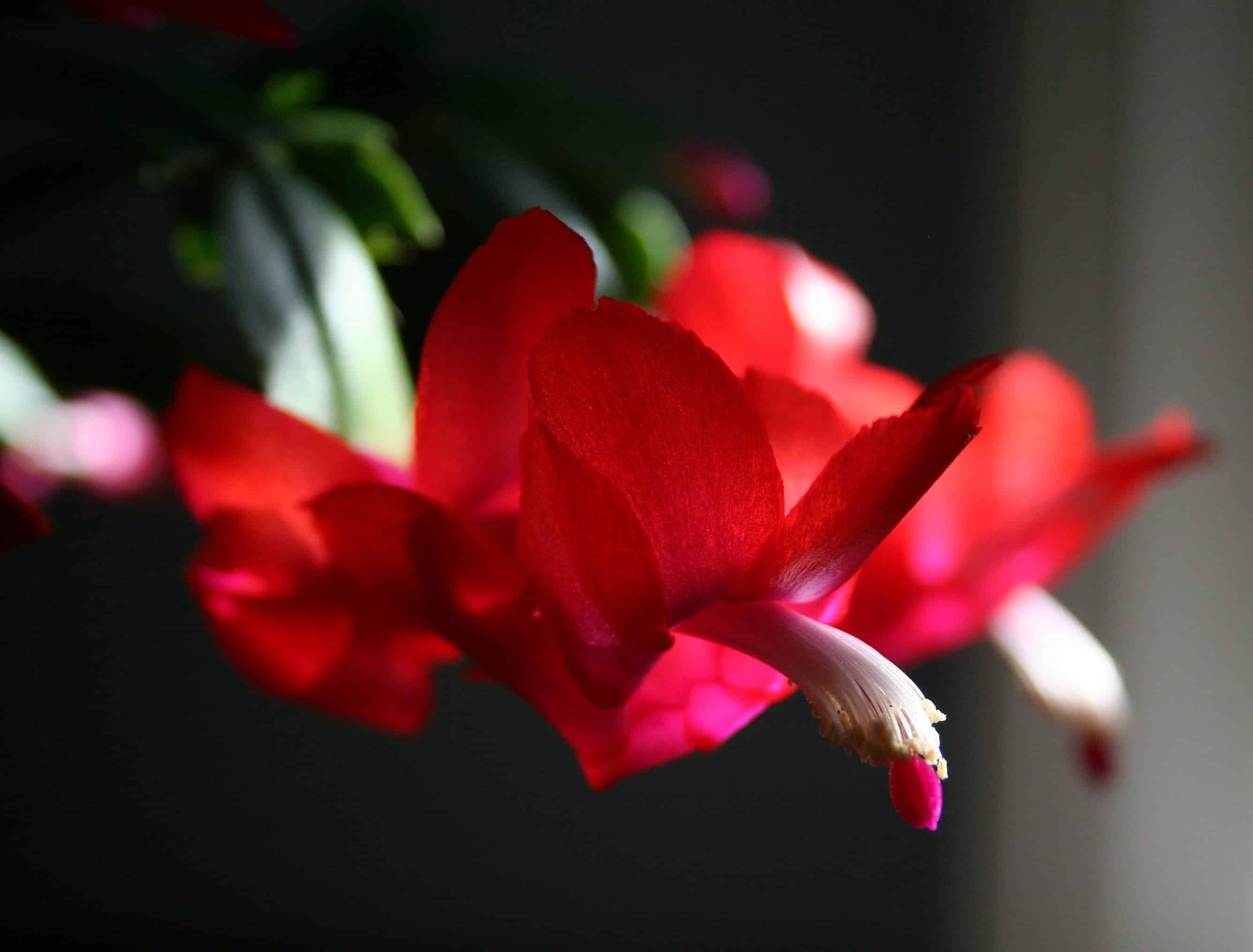 Propagate Christmas Cactus.How To Propagate A Christmas Cactus Home Garden Joy