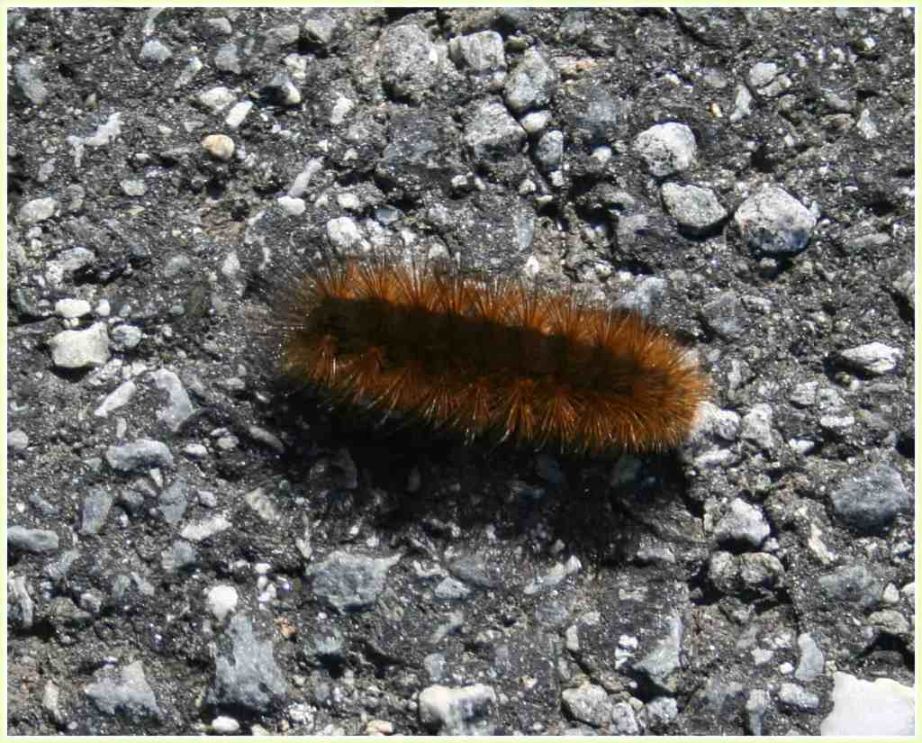 woolly bear caterpillar on gravel driveway