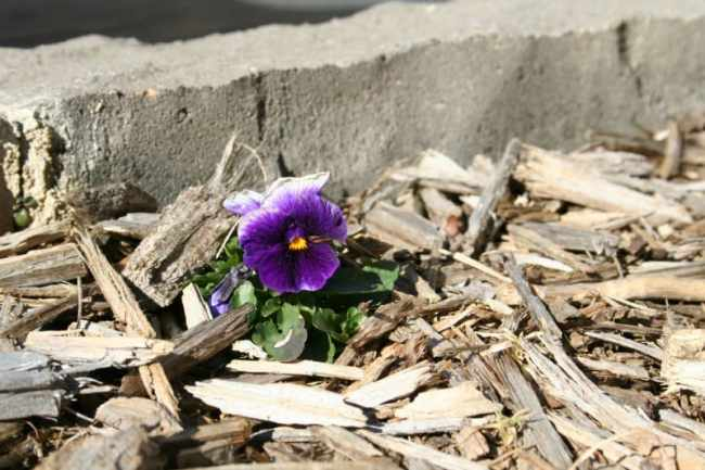 pansy blooming in february