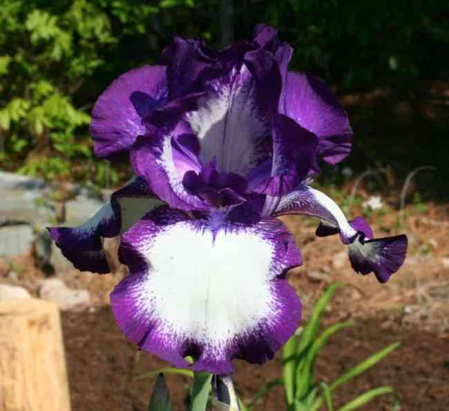 iris purple and white