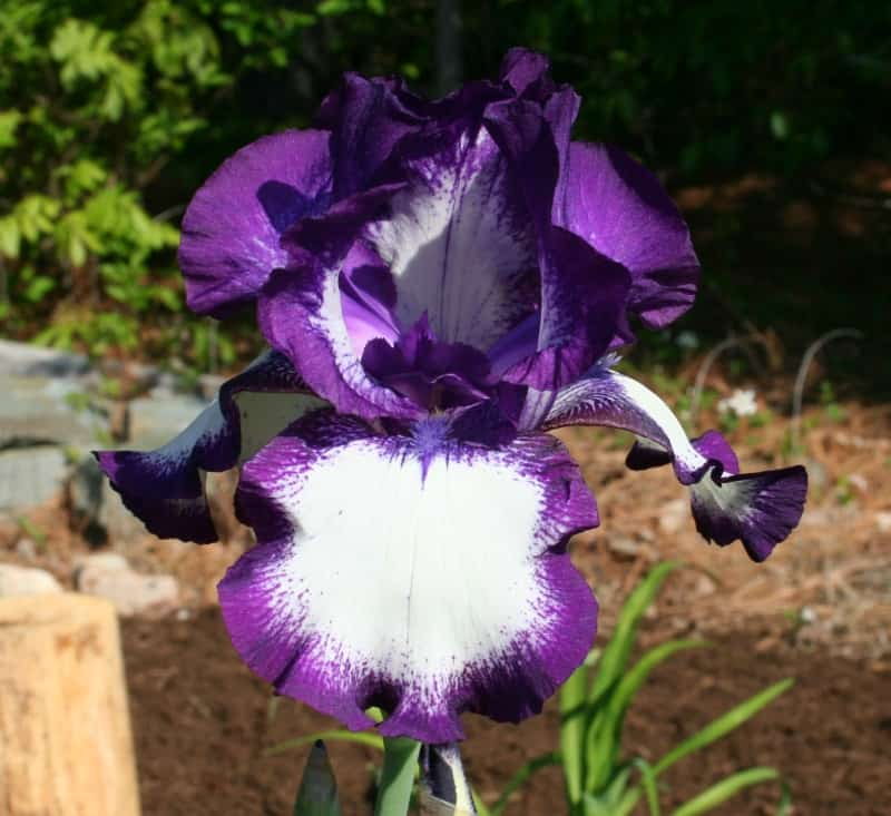 picture of a purple and white iris flower