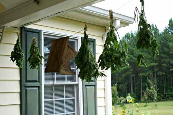 basil hanging to dry