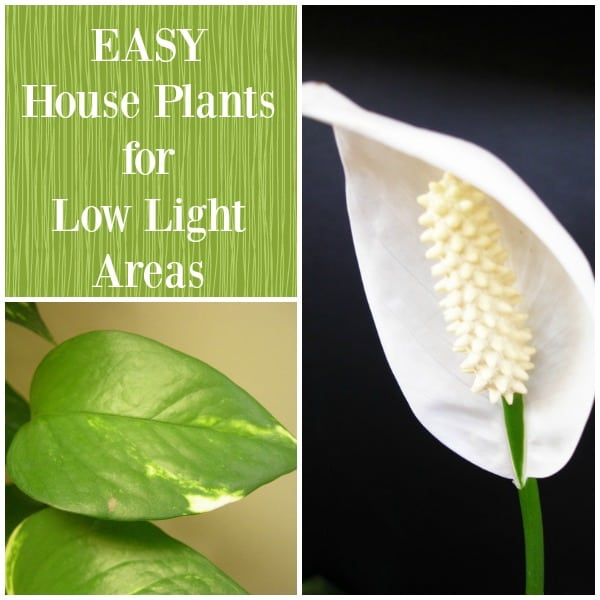 Easy House Plants for Low Light Areas