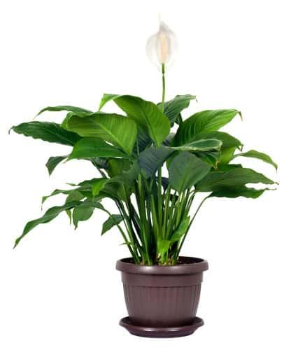 Houseplant - Spathiphyllum floribundum (Peace Lily). White Flower isolated on white background