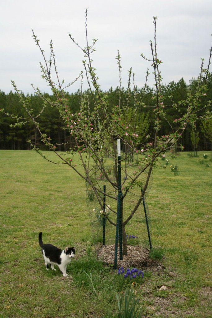 groucho and apple tree