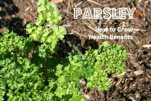 growing parsley herb