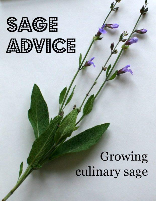 growing sage