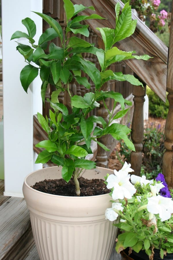 growing a lemon tree from seeds