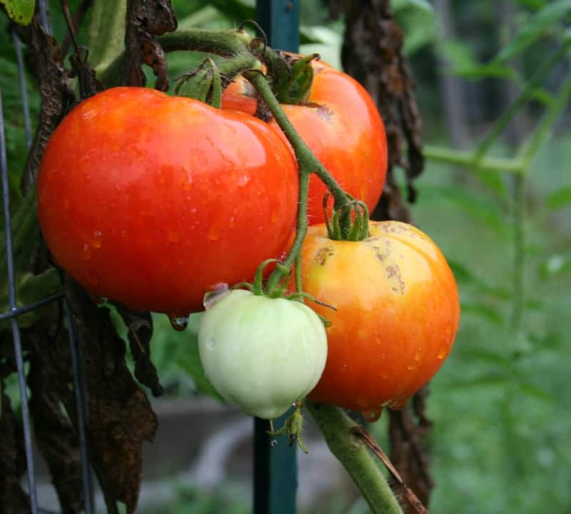 garden tomatoes growing on the vine
