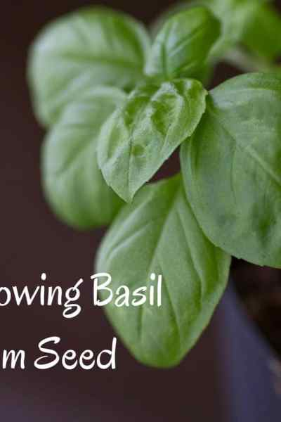 growing basil from seed