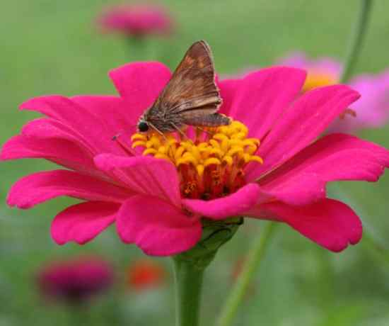 zinnia for container garden