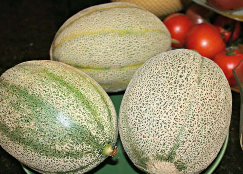 growing cantaloupe