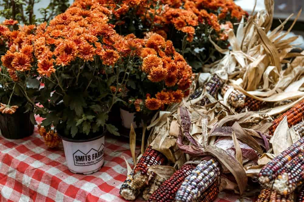 Indian corn and mums in a fall picture