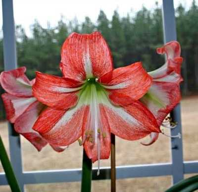 how to divide amaryllis
