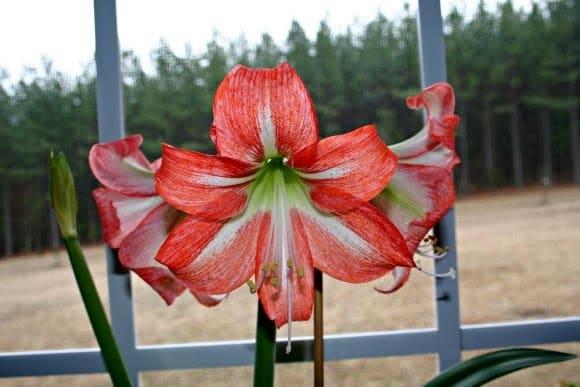 Dividing and Replanting an Amaryllis Bulb