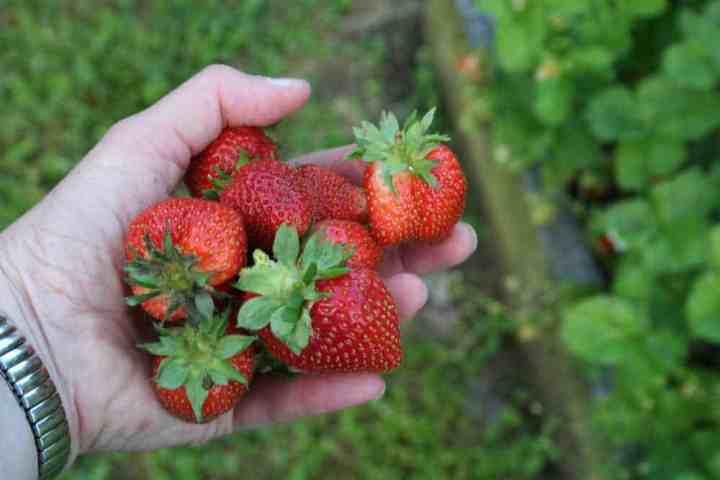strawberries in hand