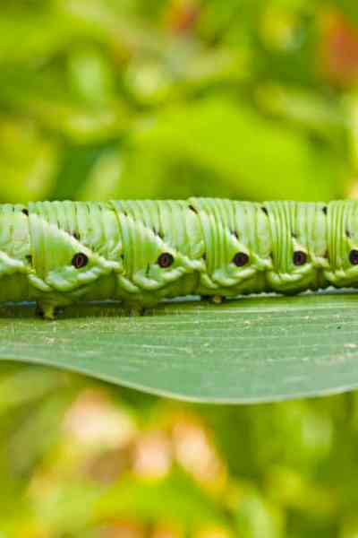 picture of a tomato hornworm