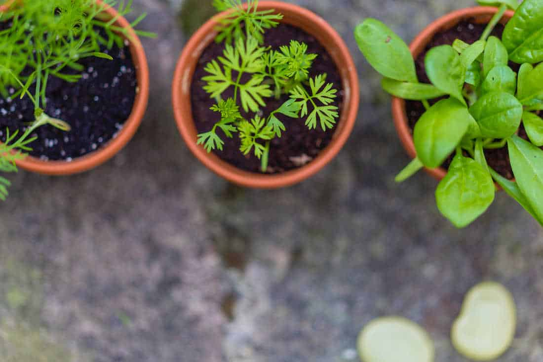 vegetables growing in pots